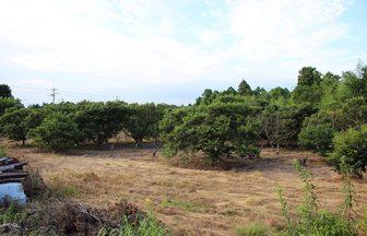 千葉県 栗畑